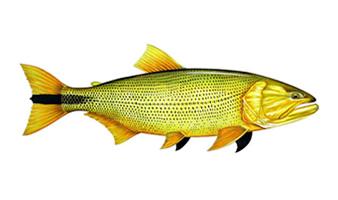 Resultado de imagem para peixe dourado