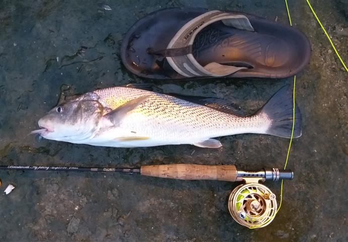 Tamanho de corvina pescada no fly #3
